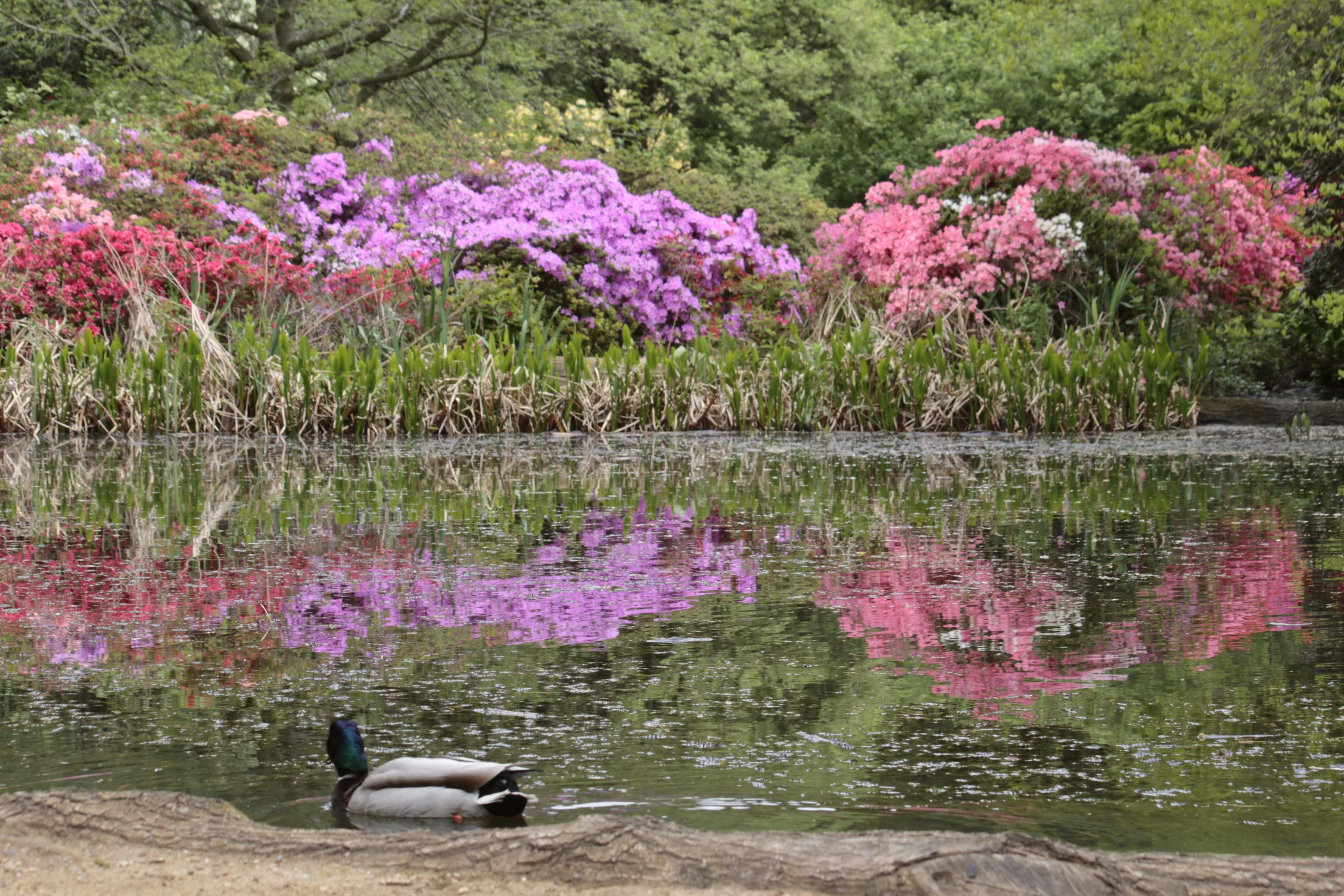 Isabella Plantation, pond, azaleas