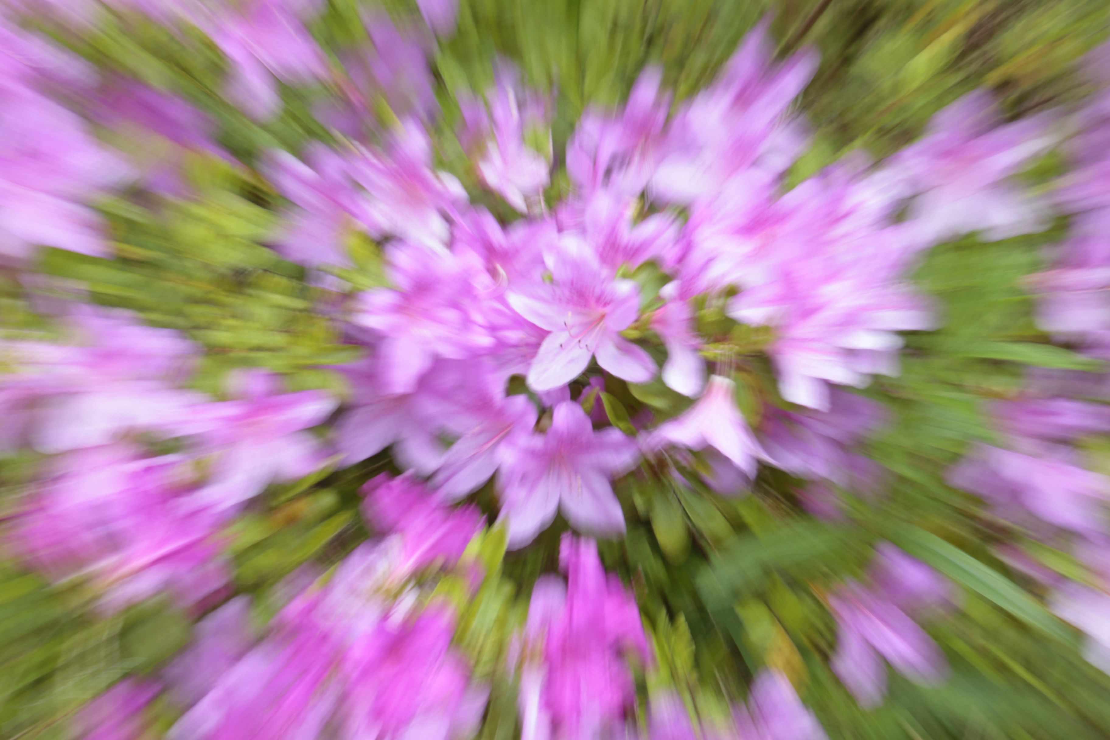 Azaleas in bloom, zoom burst, pink, Isabella Plantation