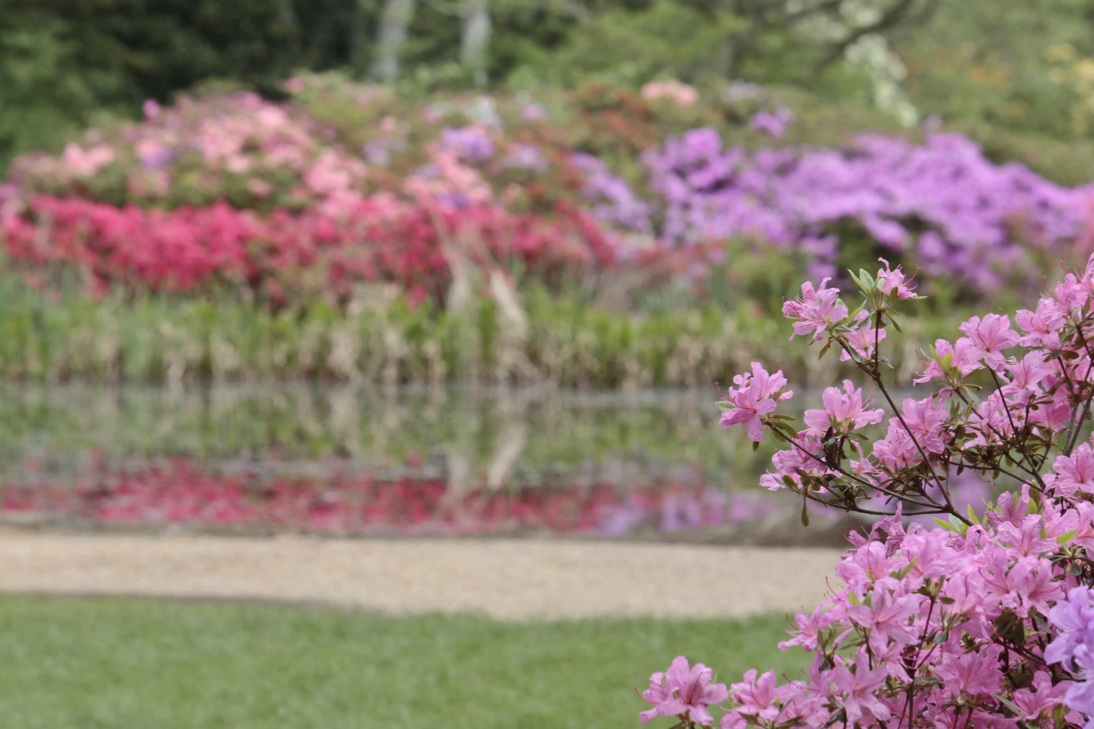 Pond, reflection, azaleas, isabella plantation