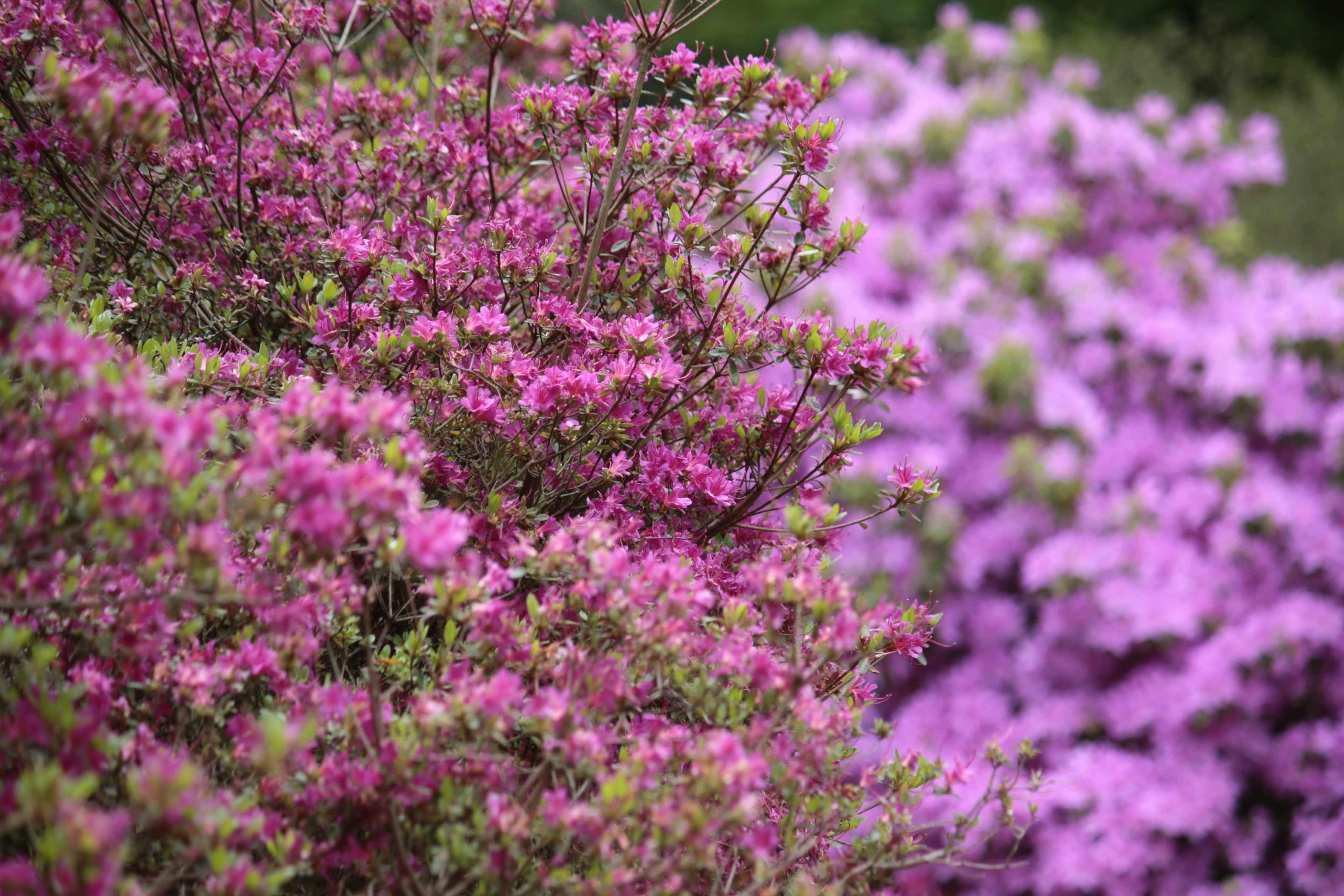 pink, purple, azaleas, flowers in bloom, Isabella Plantation