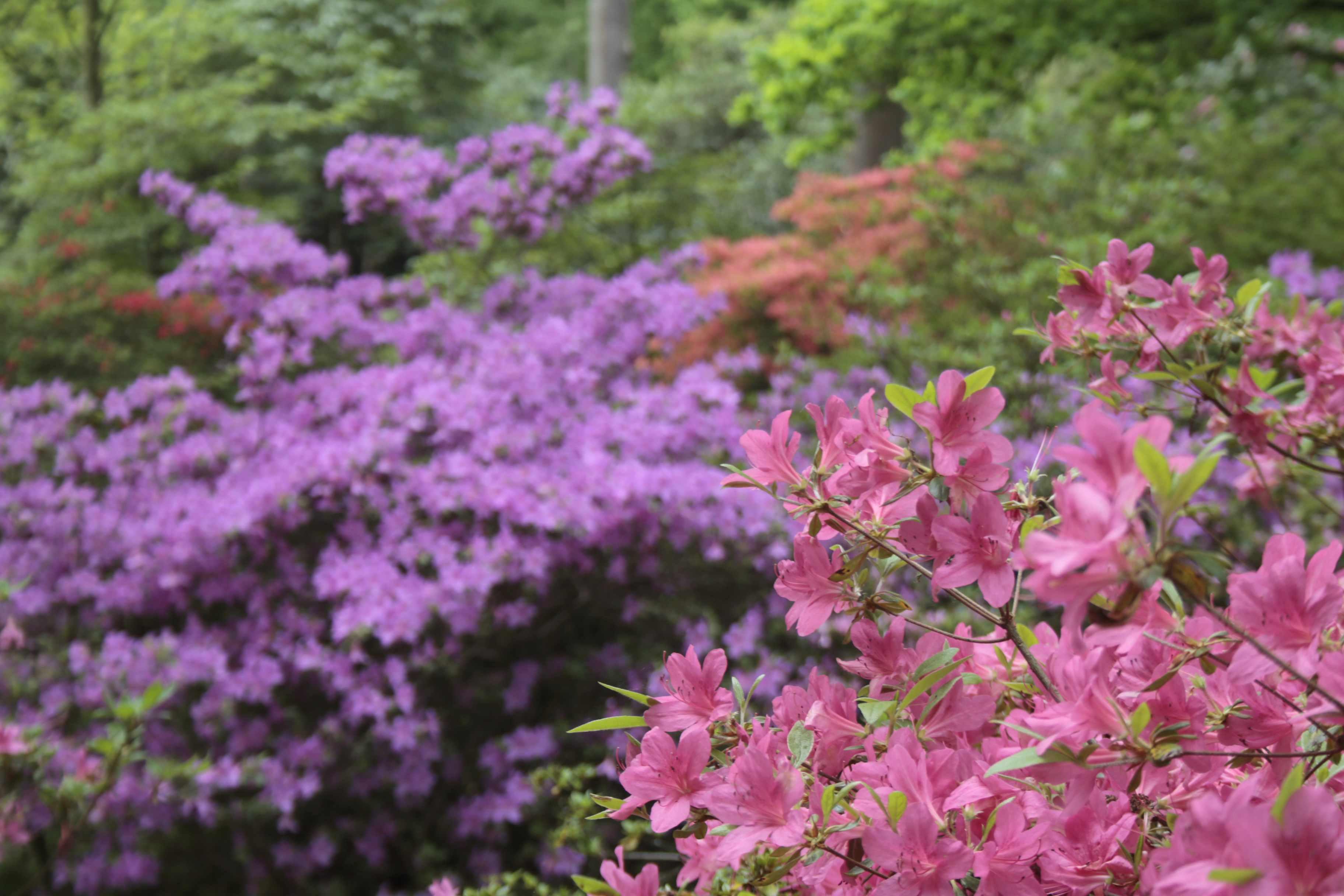 Azaleas in bloom, Isabella Plantation