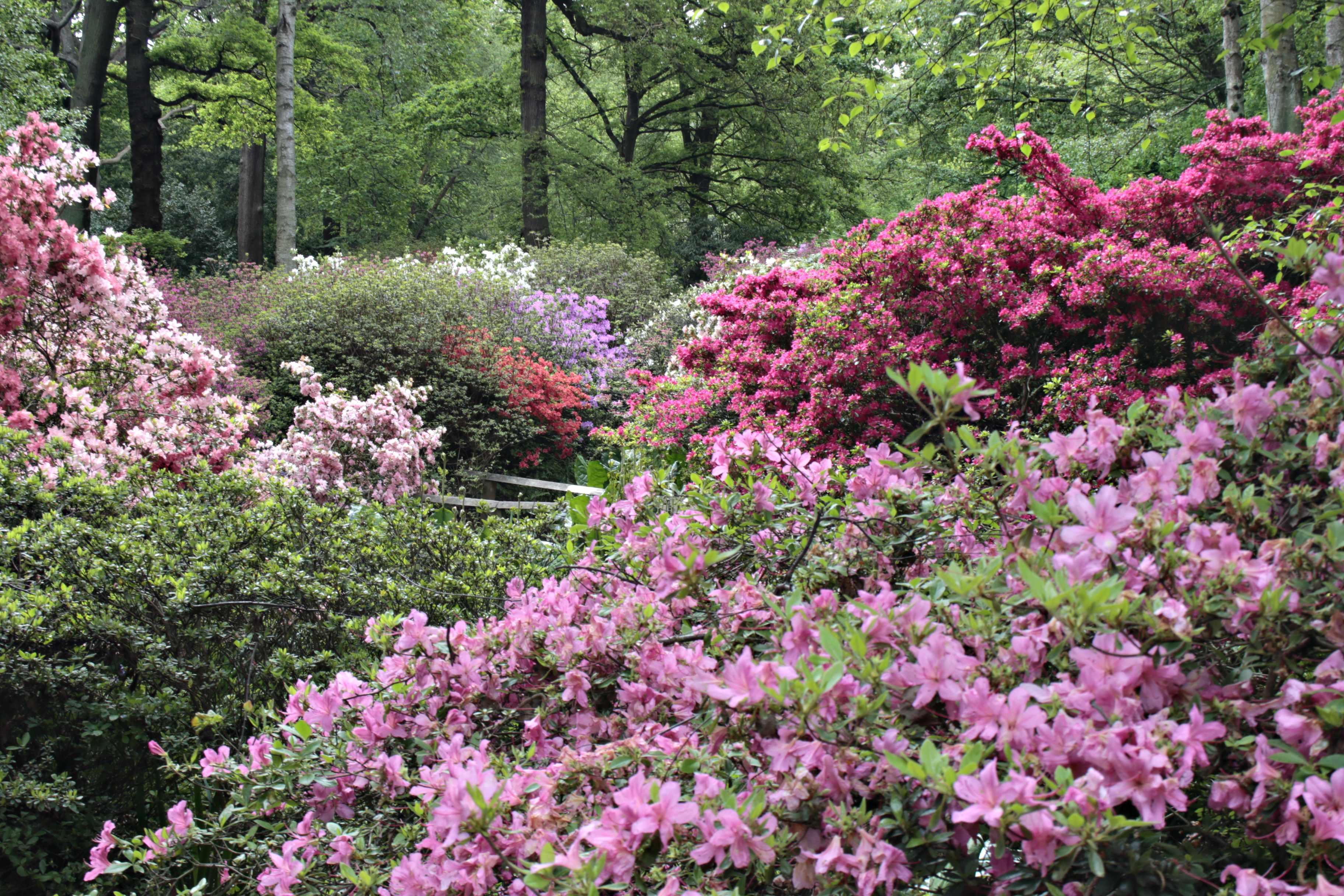 Azaleas in bloom, pink, Isabella Plantation