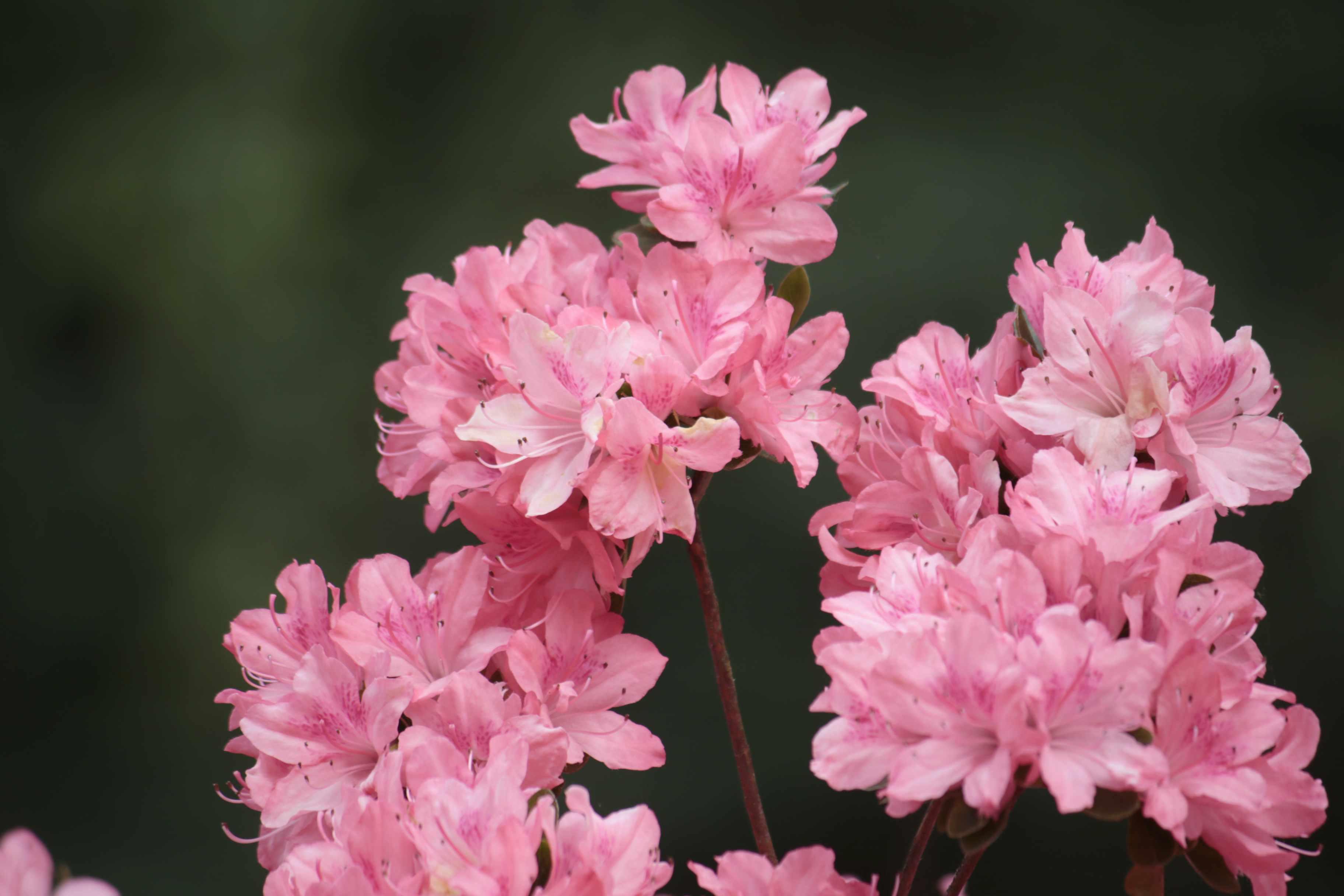 Pink Azaleas, Isabella Plantation