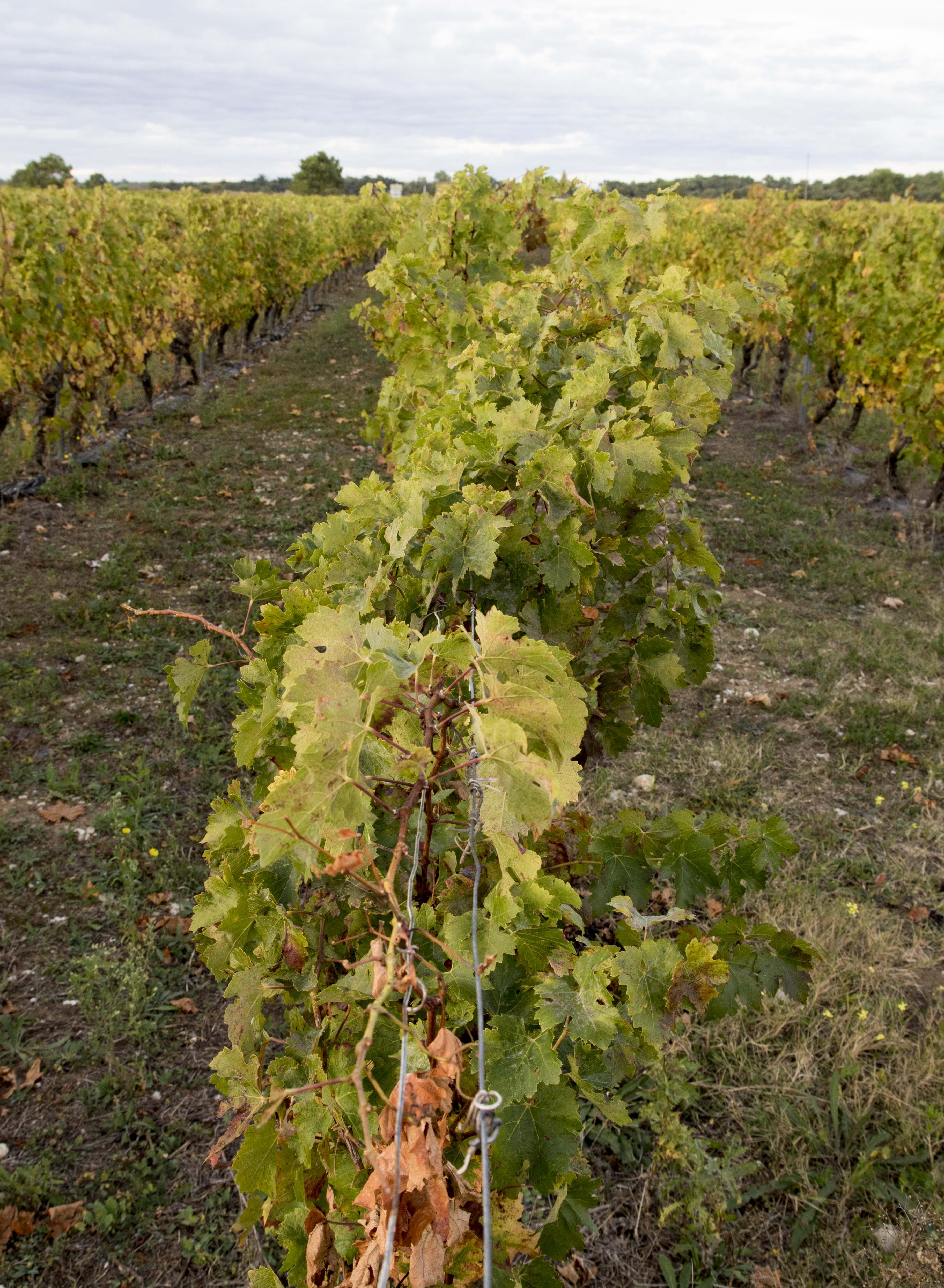 Vineyards on Ile de Re/Vignes a l'Ile de Re