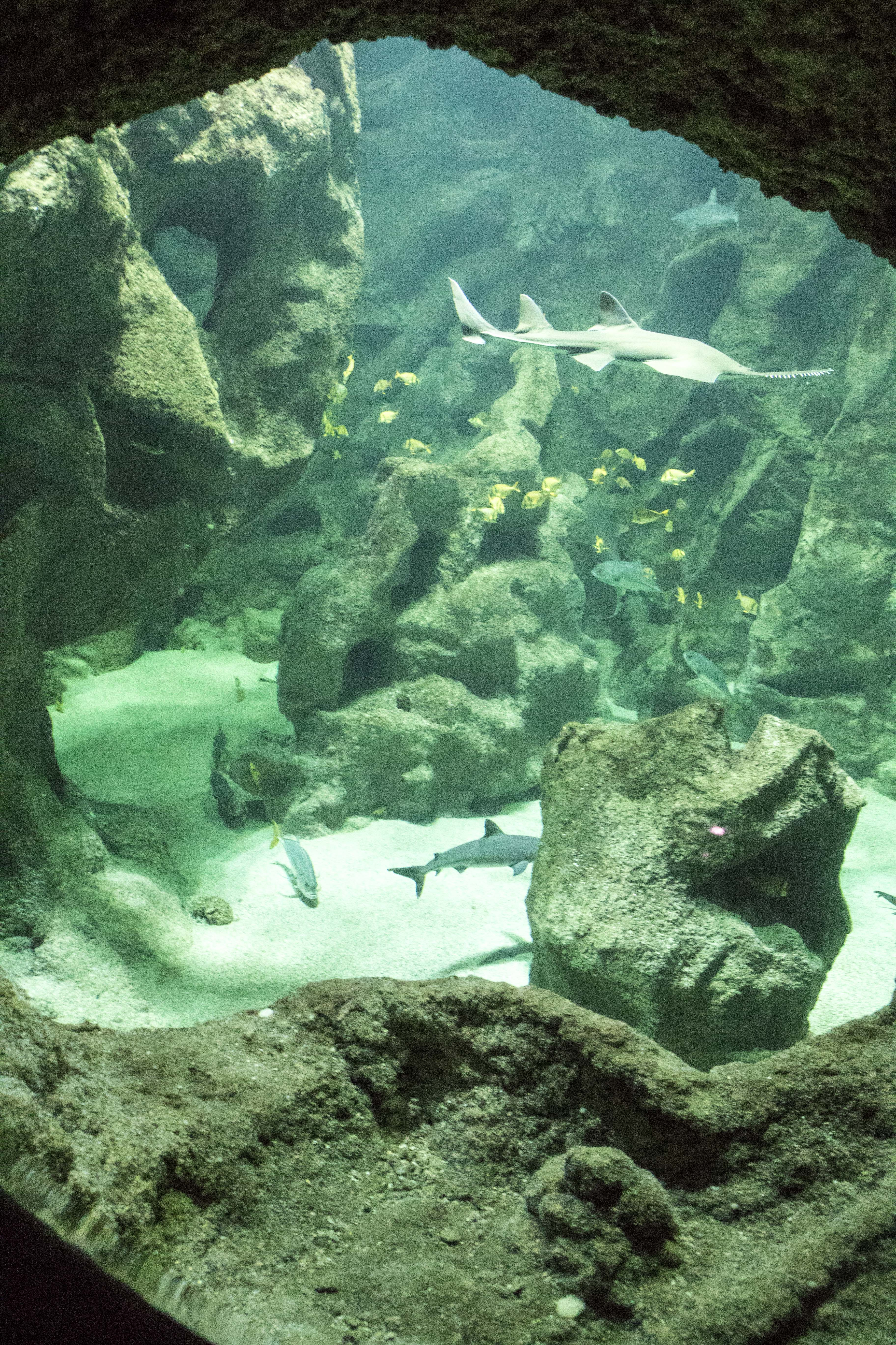 Saw Shark at La Rochelle Acquarium